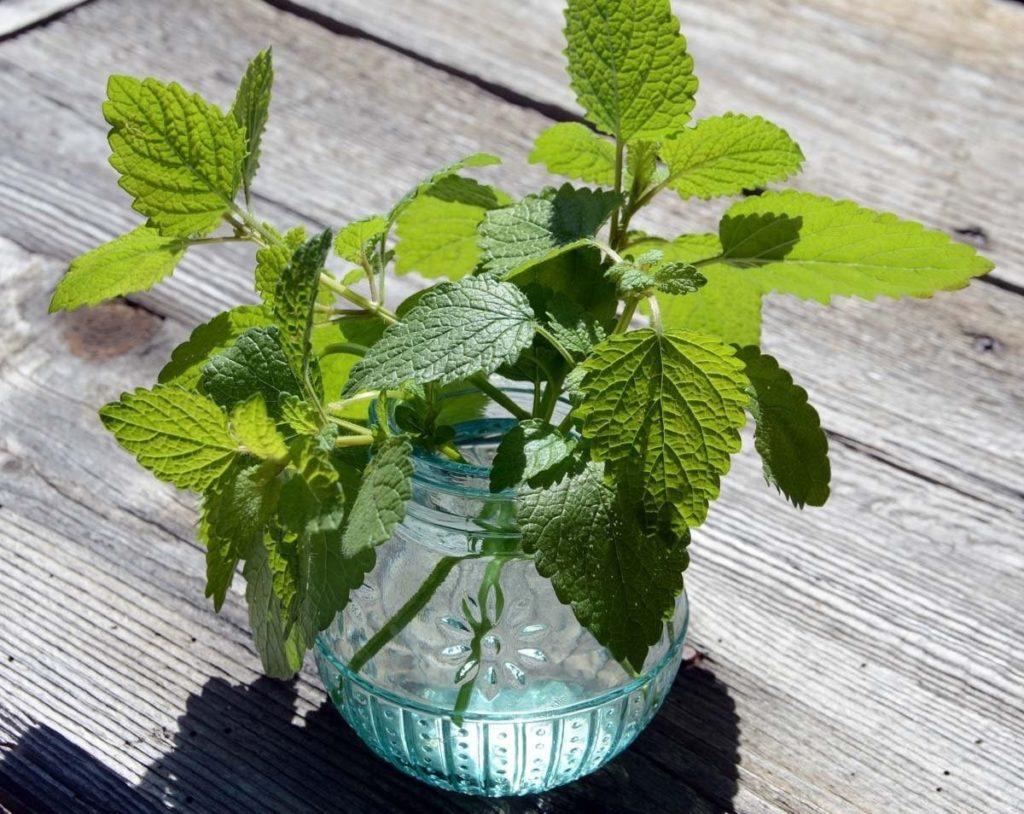 Домашняя мята: выращивание и уход за растением