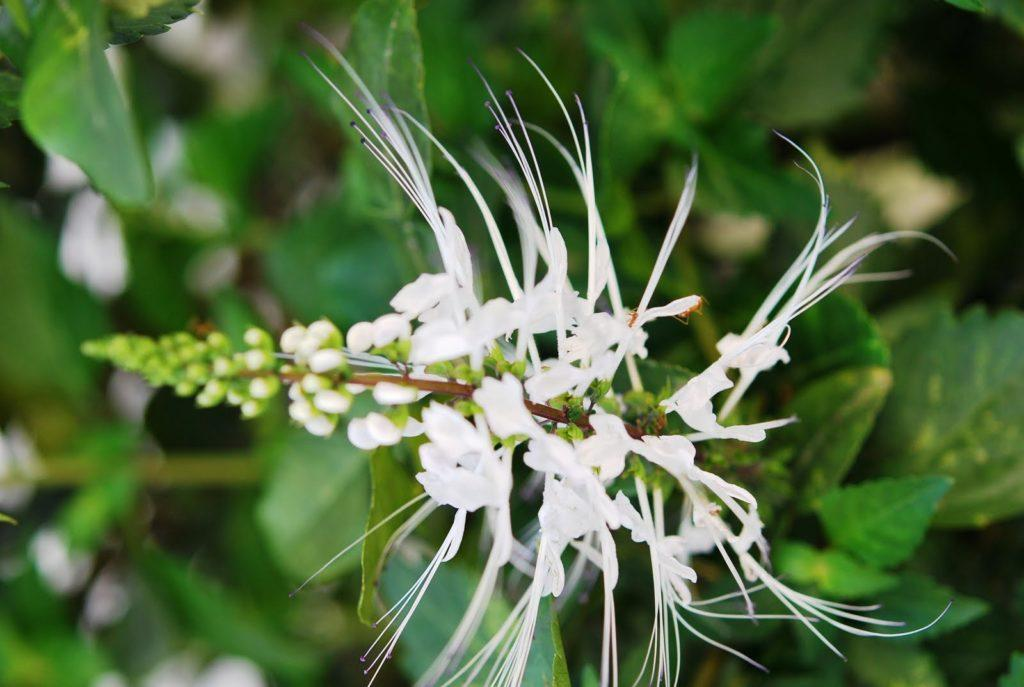 Ортосифон тычиночный: лечебные свойства, описание и противопоказания