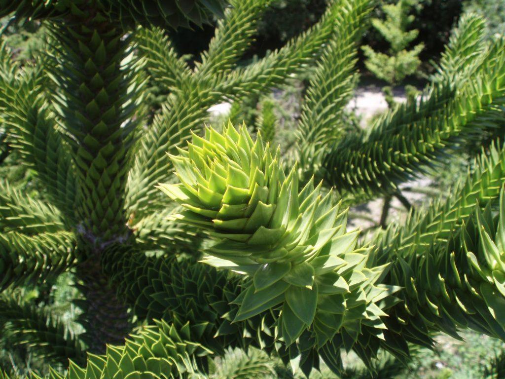 Араукария: выращивание в домашних условиях