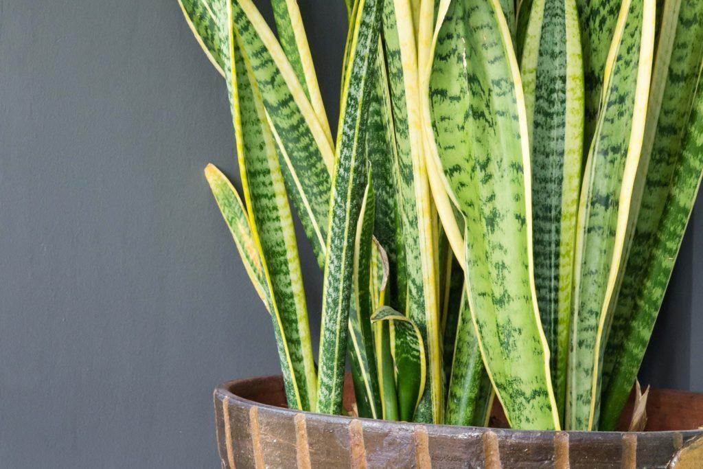 Сансевиерия: уход и выращивание в домашних условиях
