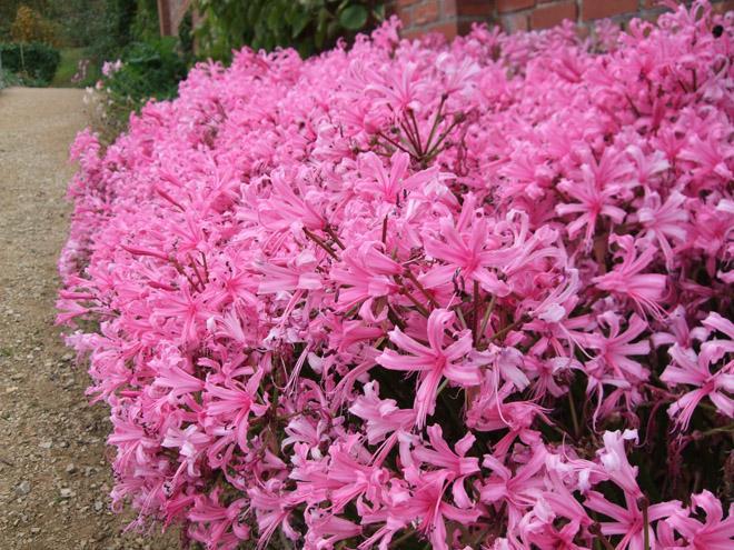 Много цветов нерине