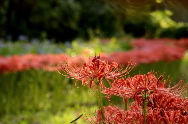 Цветы нерине в поле
