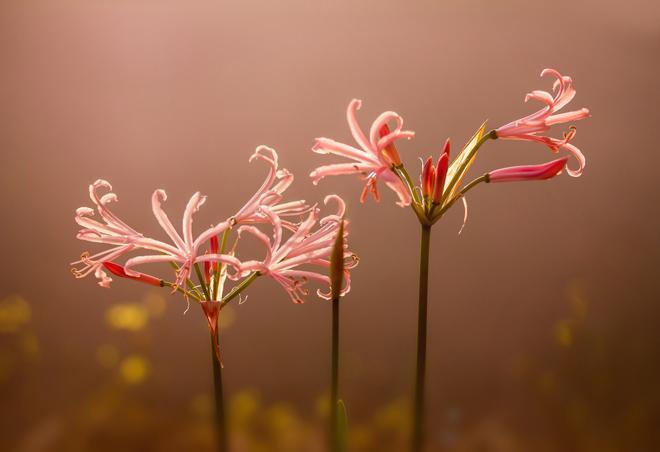 Цветы нерине