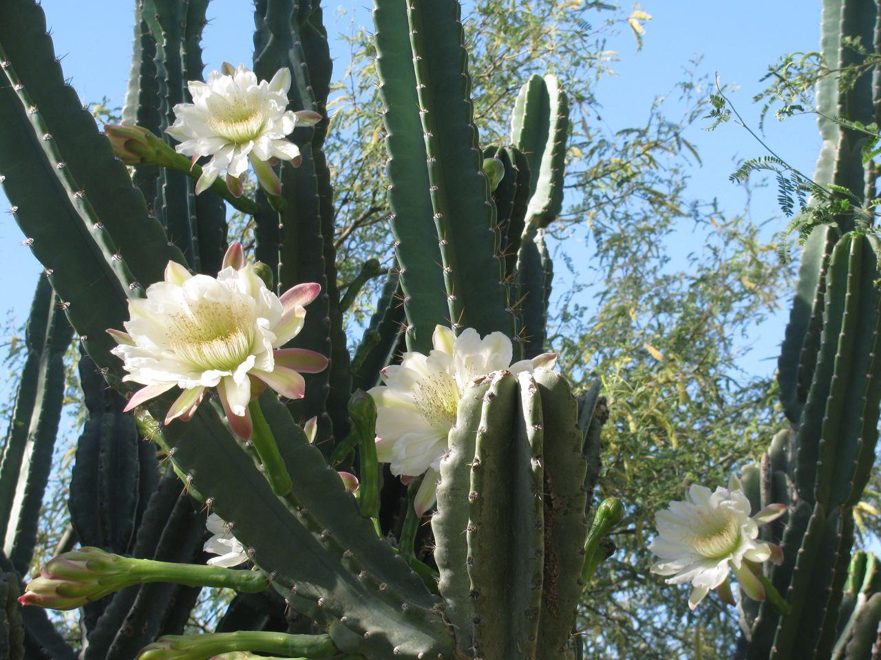 кактус цереус гигантский