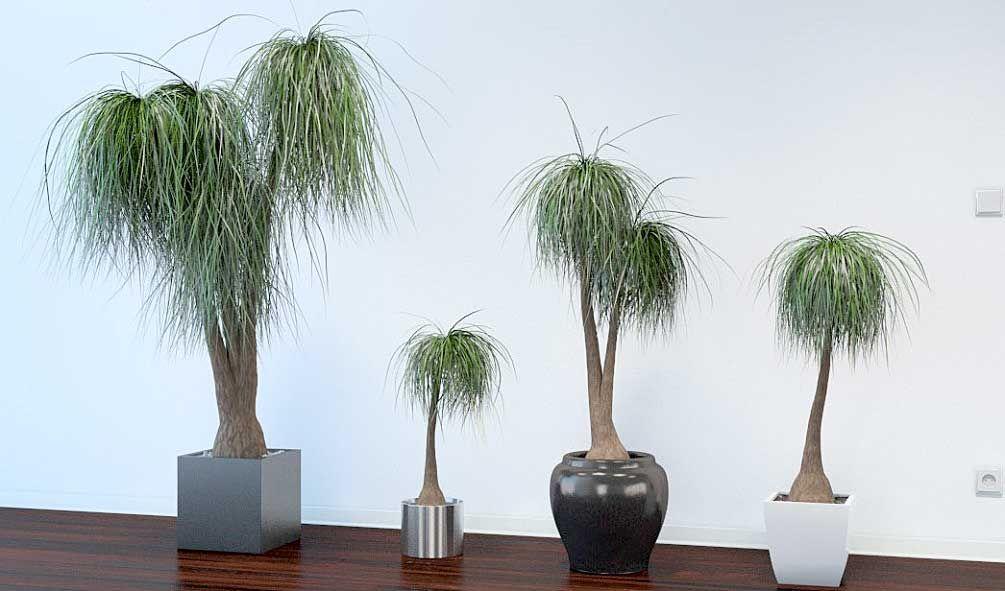 Нолина бокарнея: комнатные сорта