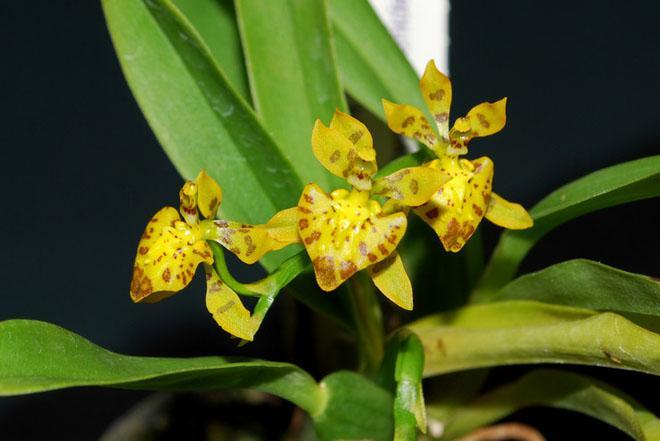 Онцидиум цветы