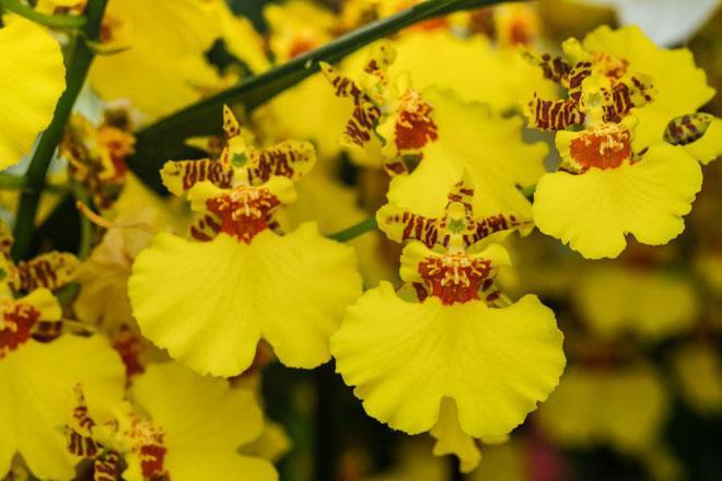 Цветы онцидиума