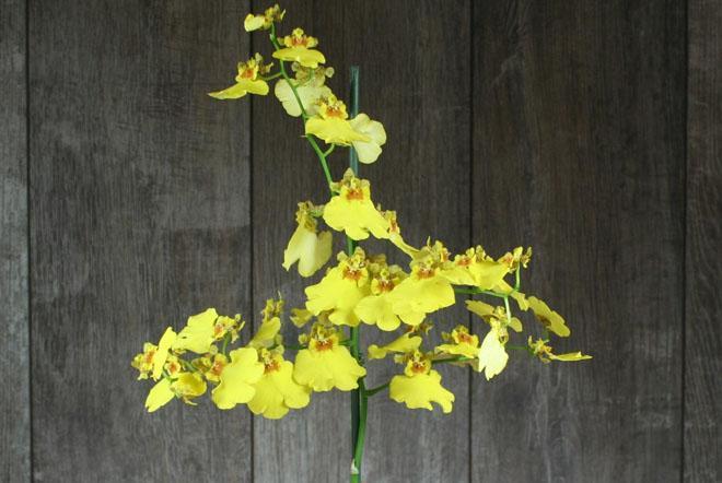 Цветок онцидиум