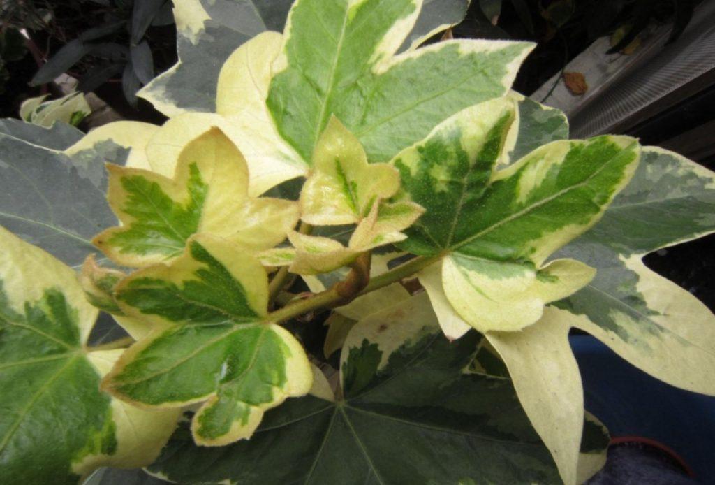 Растение фатсхедера: уход в домашних условиях