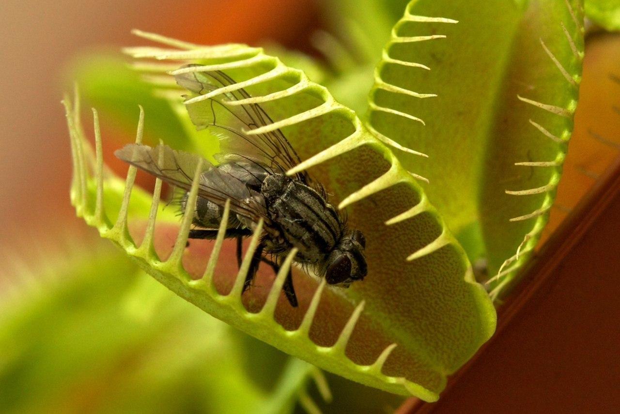 Как в домашних условиях выращивать венерину мухоловку?