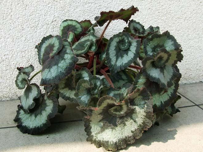 растение бегония королевская