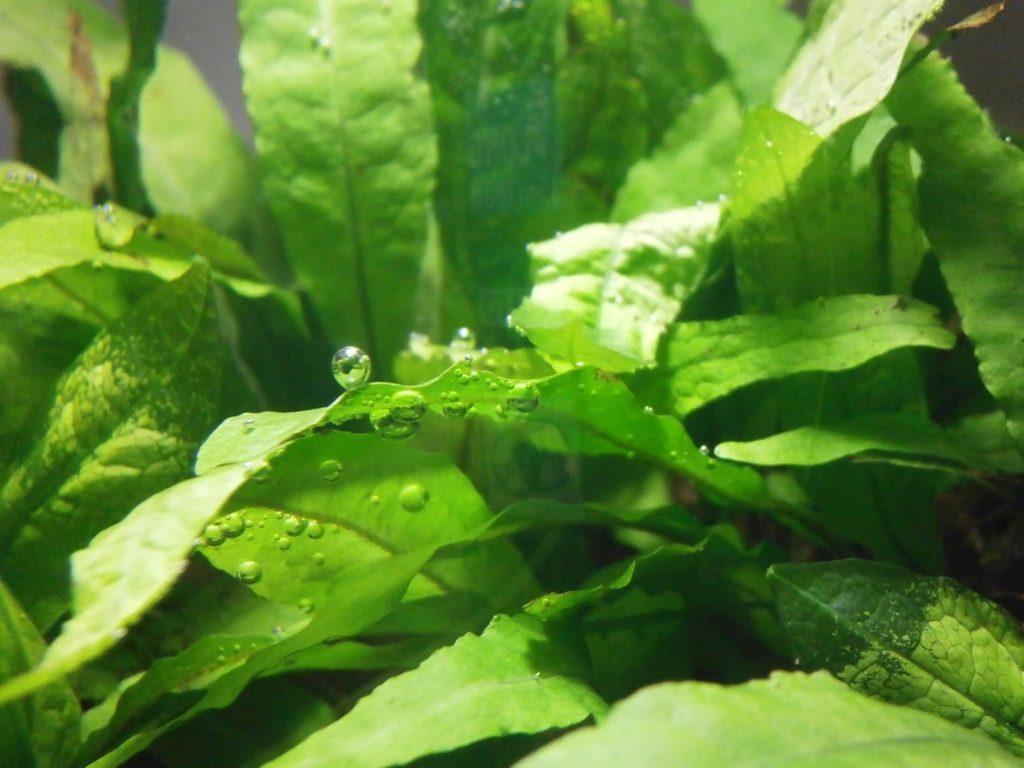 Папоротник микросорум: выращивание в домашних условиях