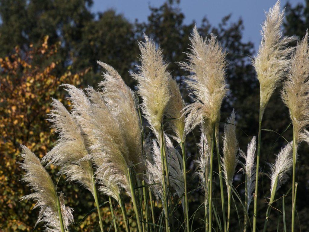 Трава кортадерия