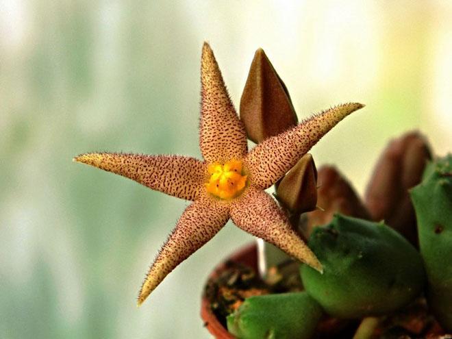 Цветок пиарантуса