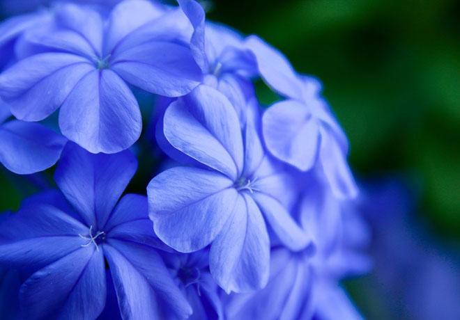 Цветы плюмбаго вблизи