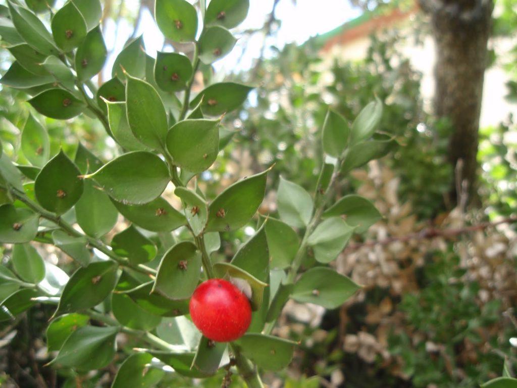 Иглица: описание, выращивание и уход в домашних условиях