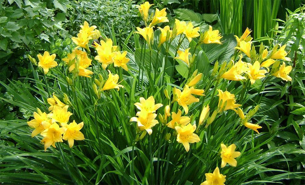 Лилейник буро-желтый