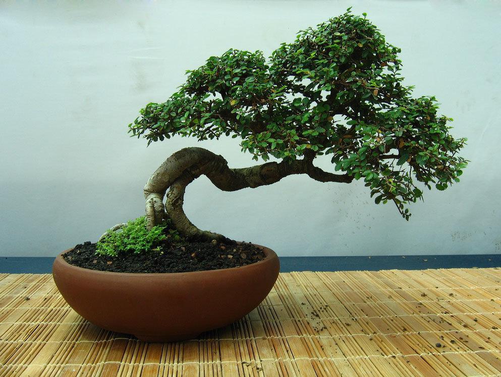 Выращивание денежного дерева