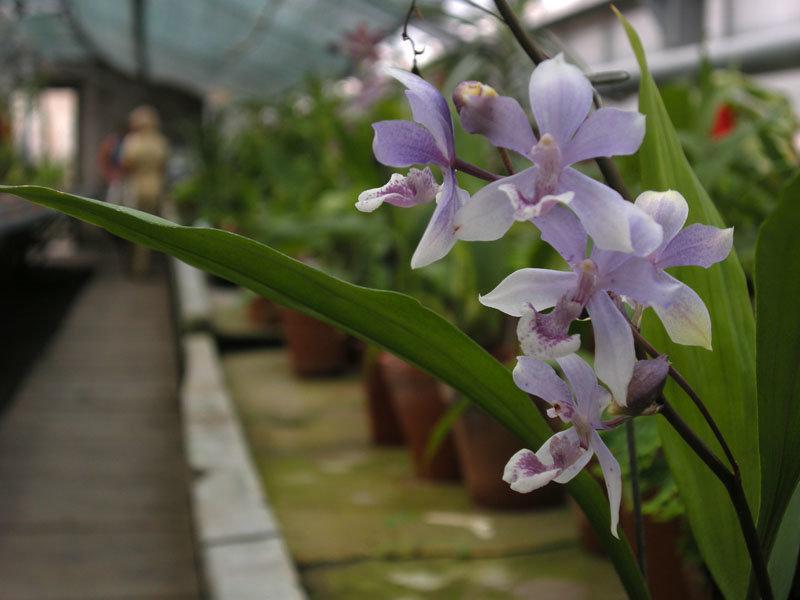 Уход за орхидеей Аганизия