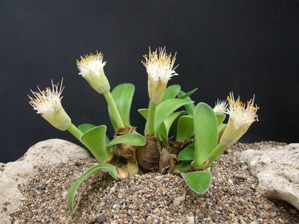 Гемантус, красивый комнатный цветок и его особенности