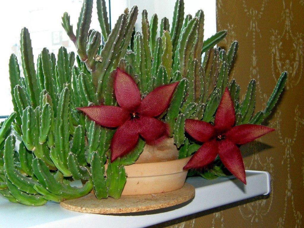 стапелия цветок