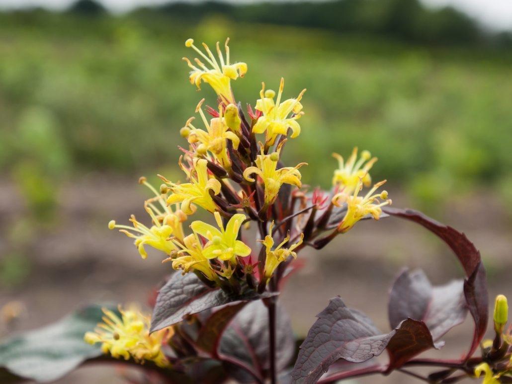 Диервилла: описание, уход и выращивание