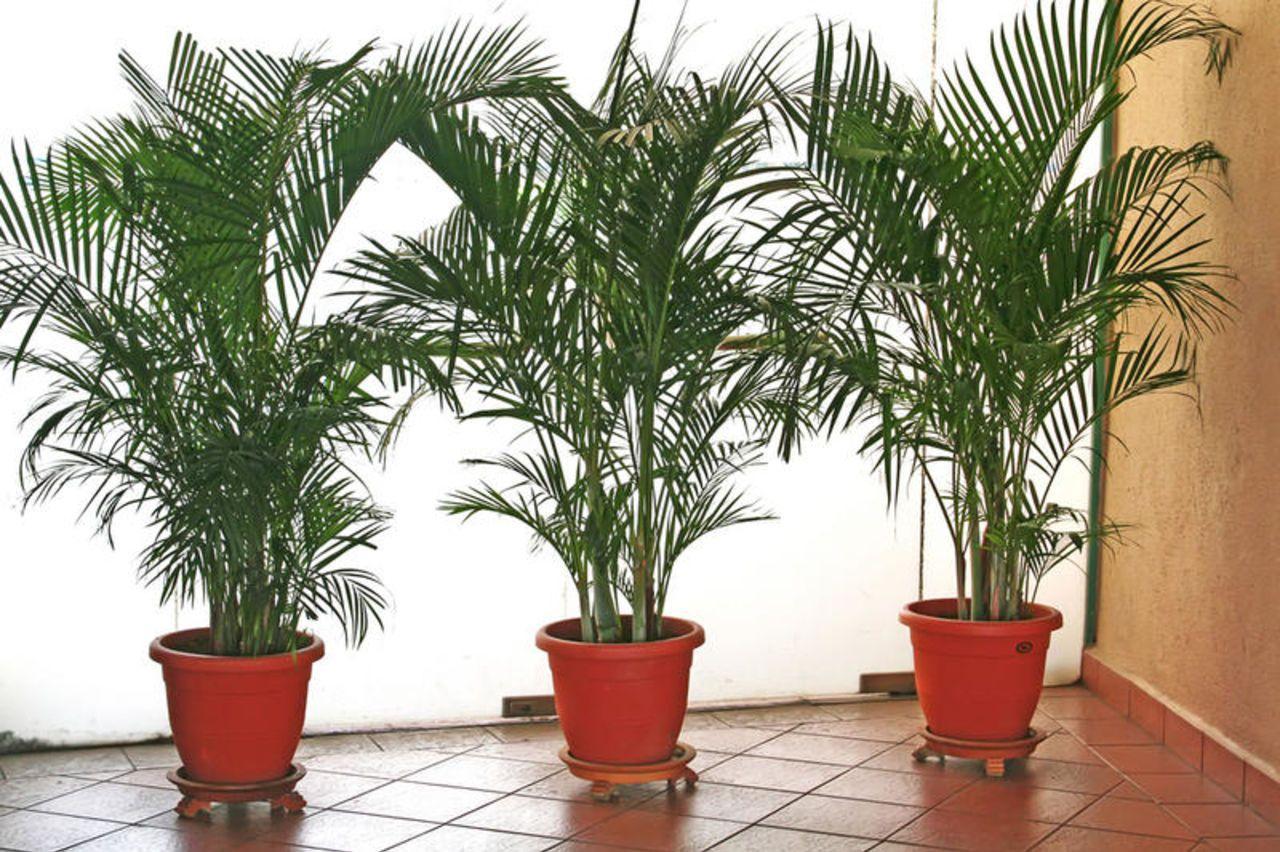 как из косточек фиников вырастить пальму