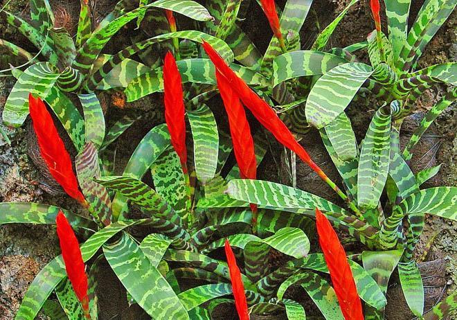Красные цветы вриезии