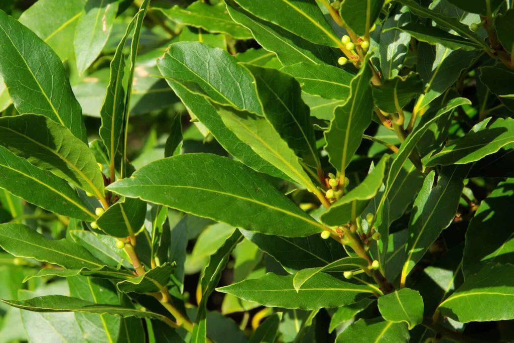 Лавр: описание, применение, уход и выращивание в саду