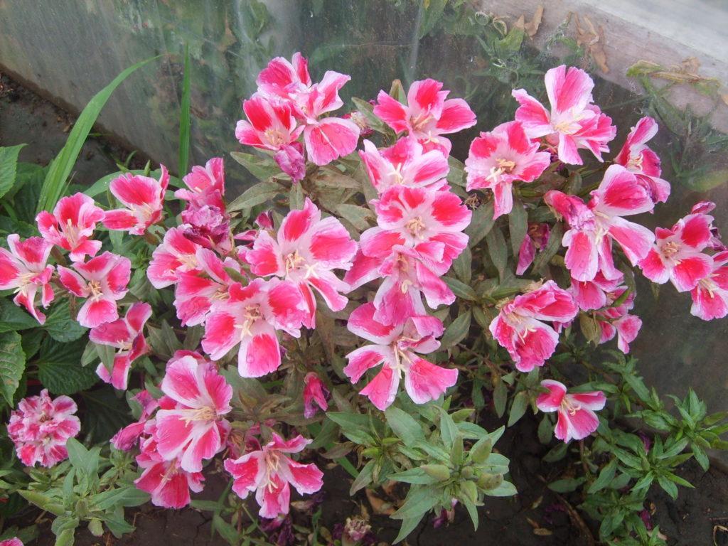 Разновидности и сорта цветка кларкия