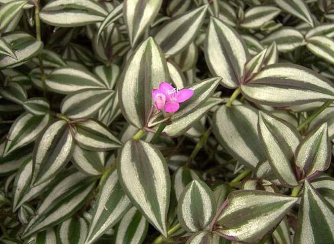 Листья и цветок зебрины