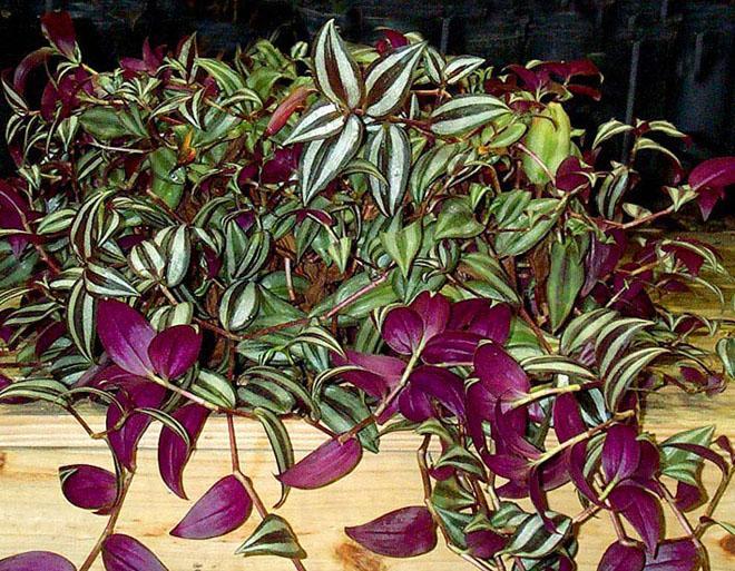 Много листьев зебрины