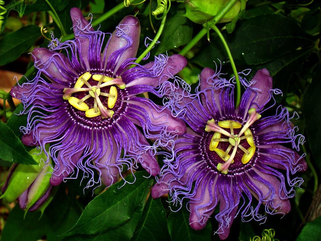 Пассифлора: выращивание в домашних условиях