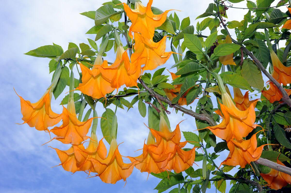 Бругмансия: уход за растением