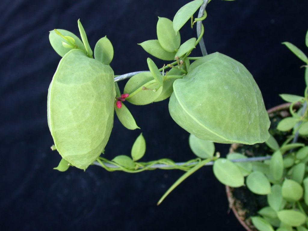 Дисхидия: уход в домашних условиях, сорта и выращивание