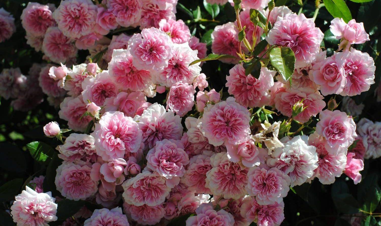 мускусные розы отзывы