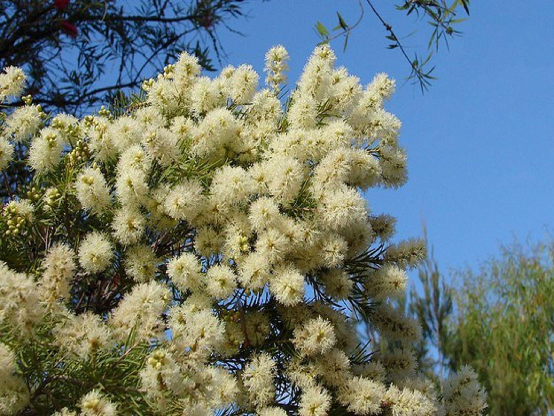 мелалеука австралийское чайное дерево