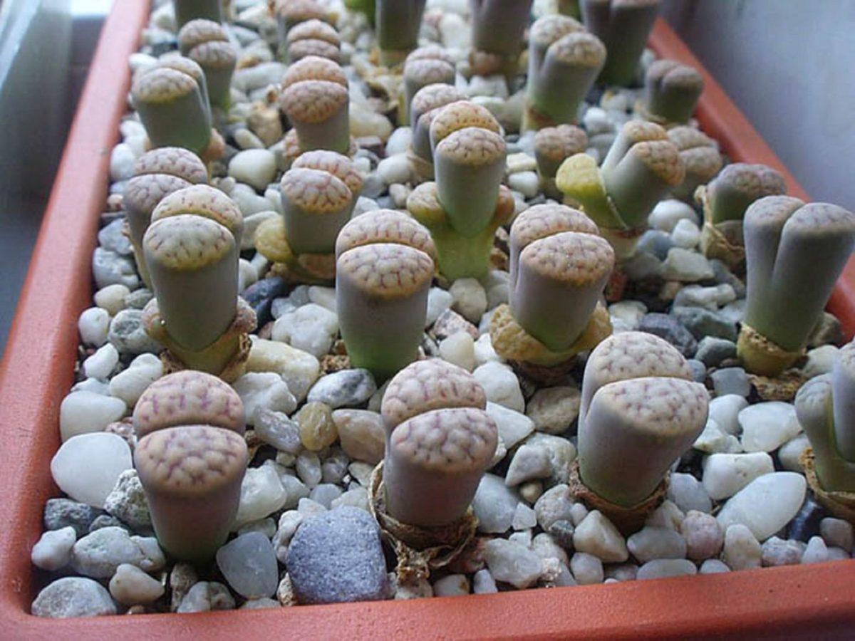 Мраморный литопс