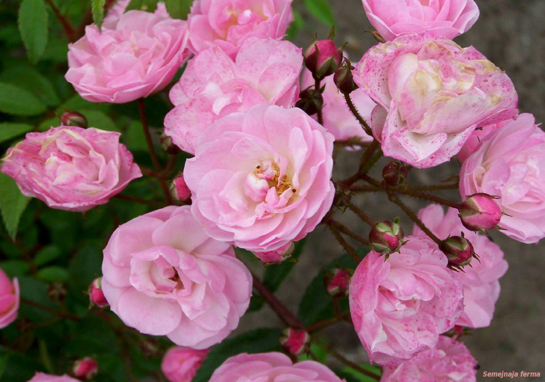 роза мускусная описание