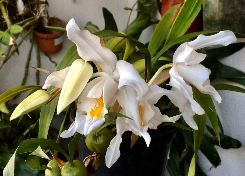 Орхидея целогина или «белая фея»: уход в домашних условиях