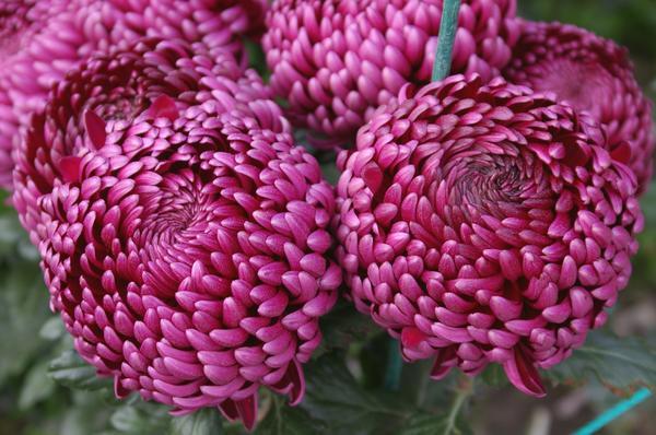 Хризантема крупноцветковая