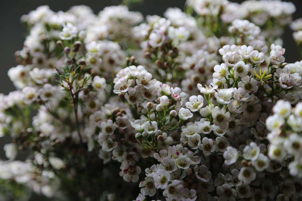 Хамелациум: посадка, уход и выращивание в домашних условиях