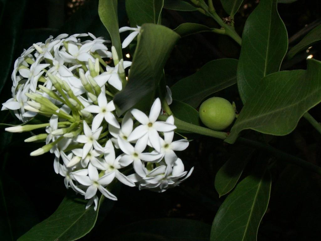 Акокантера: описание домашнего цветка
