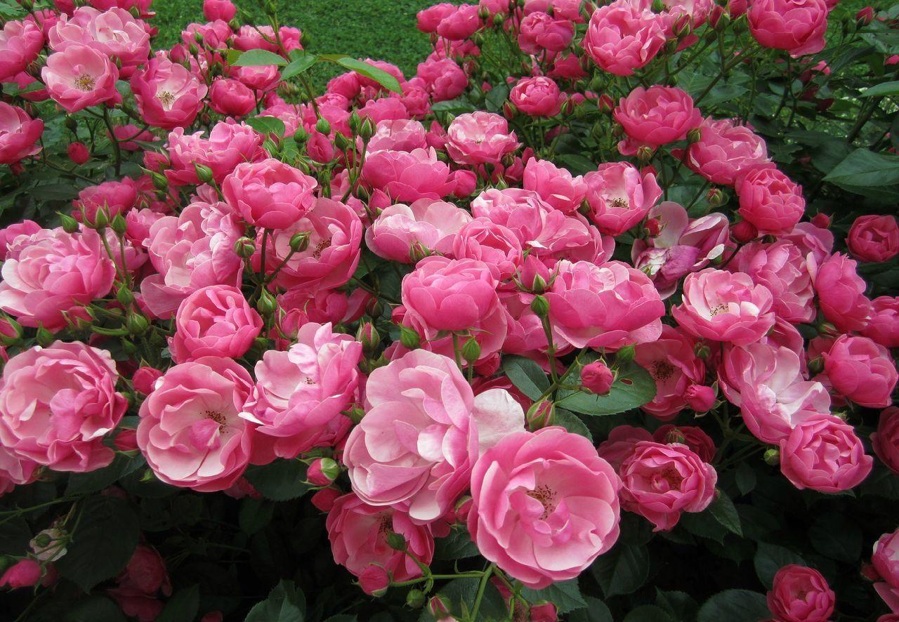 мускусные розы сорта фото