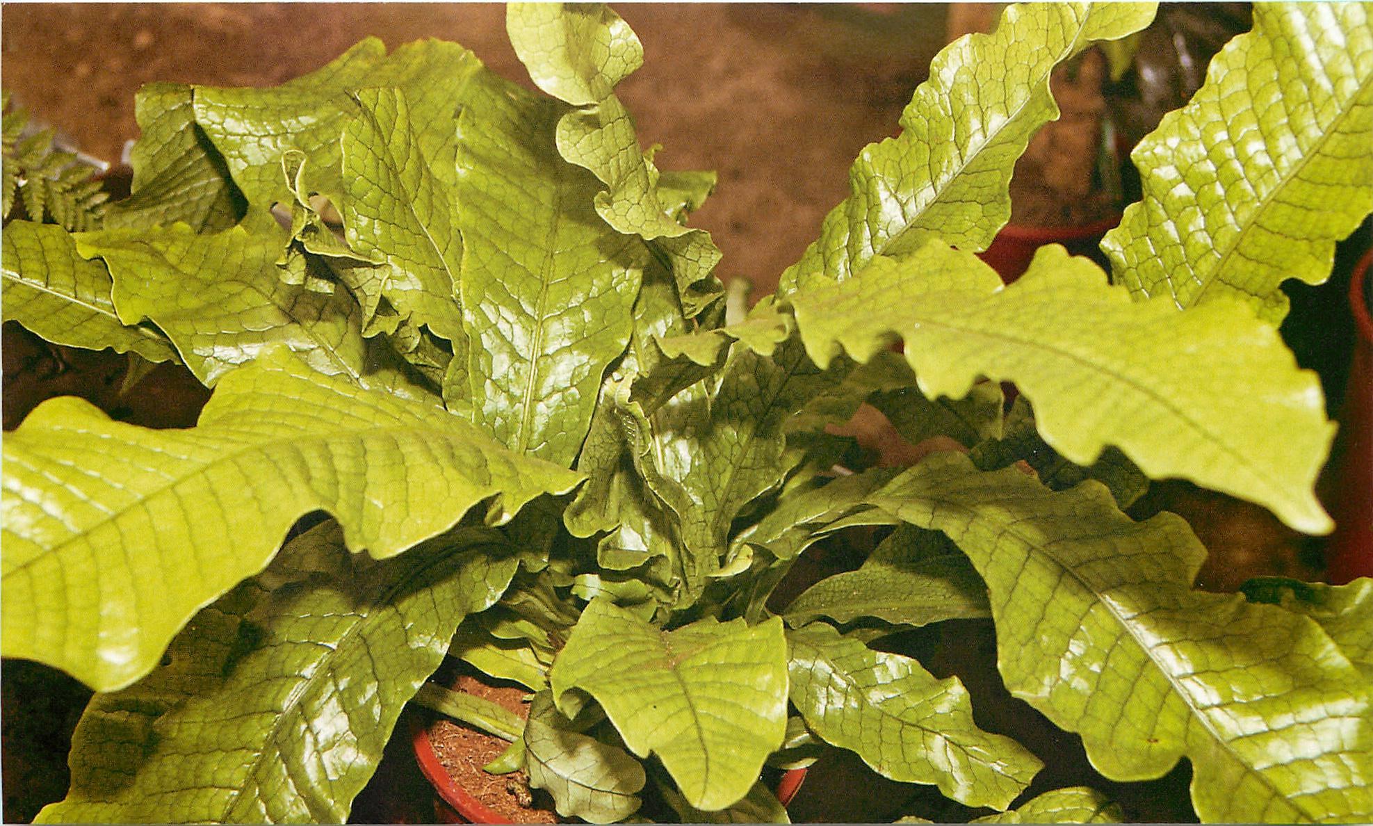 асплениум растение