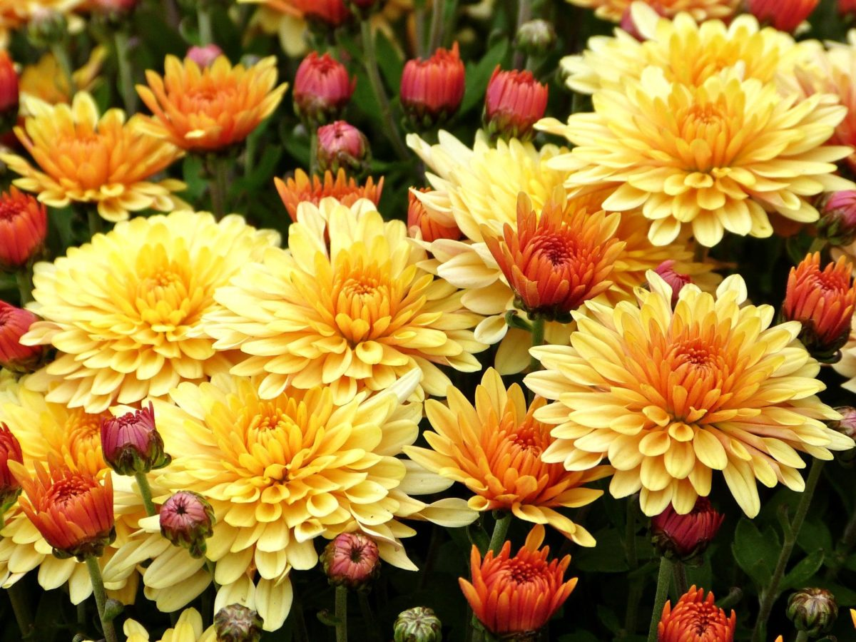 Хризантема многолетник