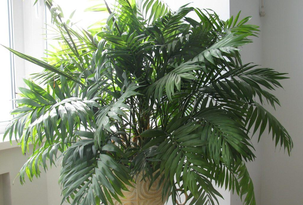 Комнатная пальма