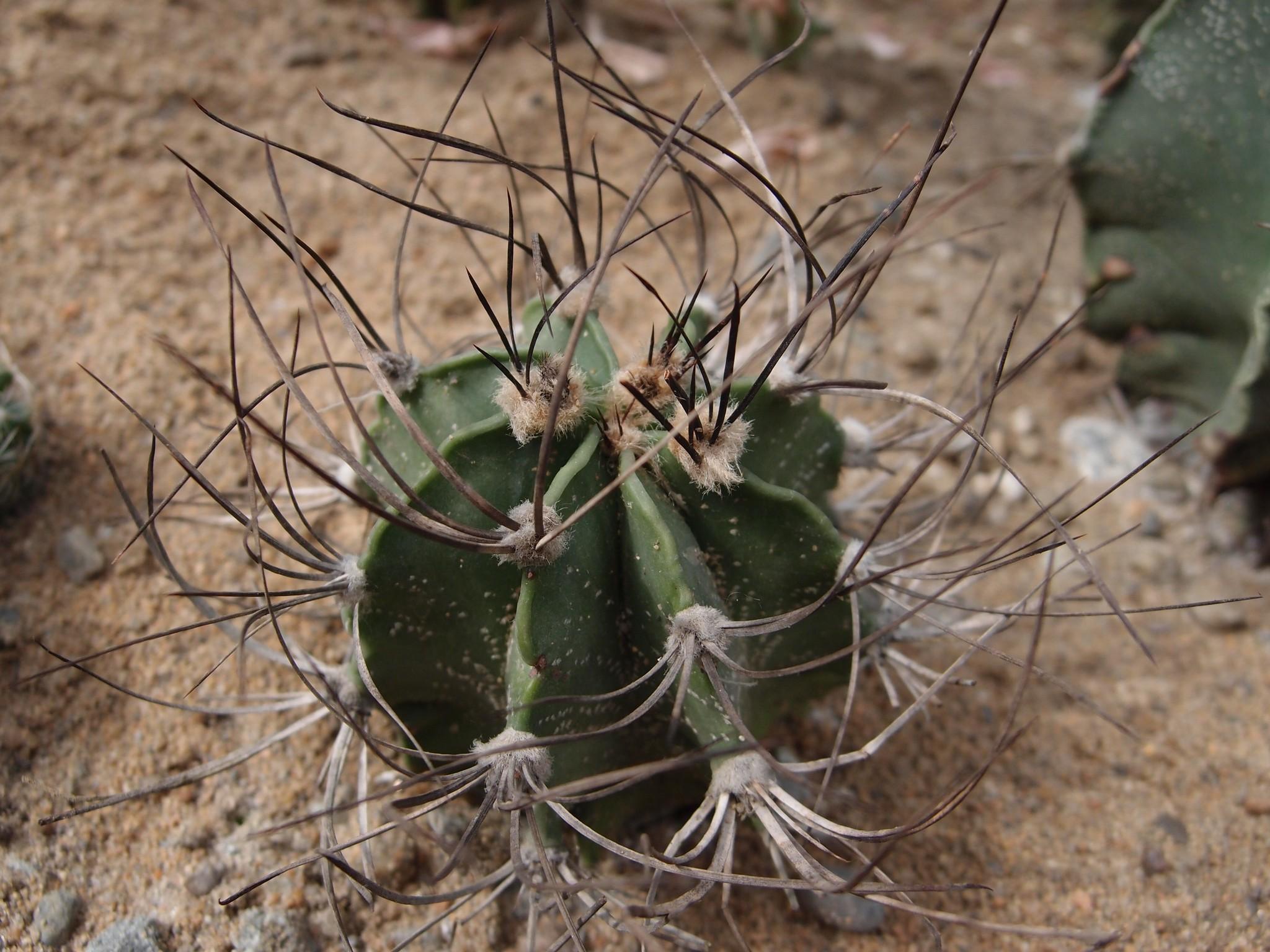 Астрофитум: рекомендации по уходу за растением