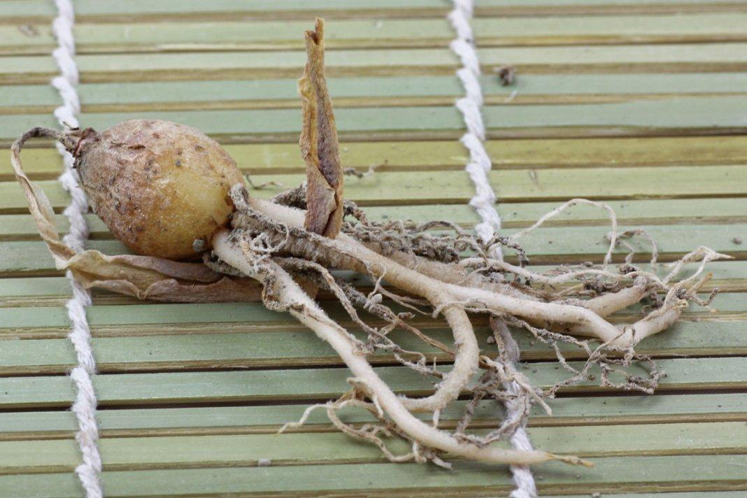 Вельтгеймия: советы по уходу за растением