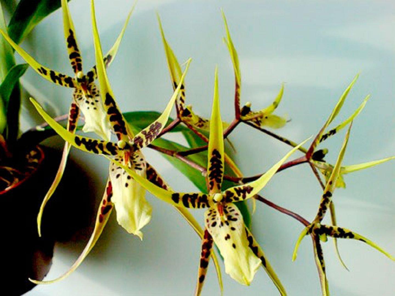 Орхидея Брассия: сорта, выращивание, посадка и уход